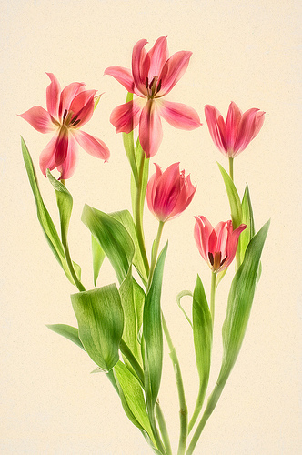 Red Tulips by Harold Davis