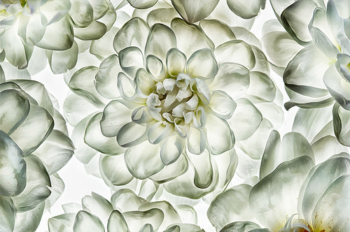White Dahlias by Harold Davis