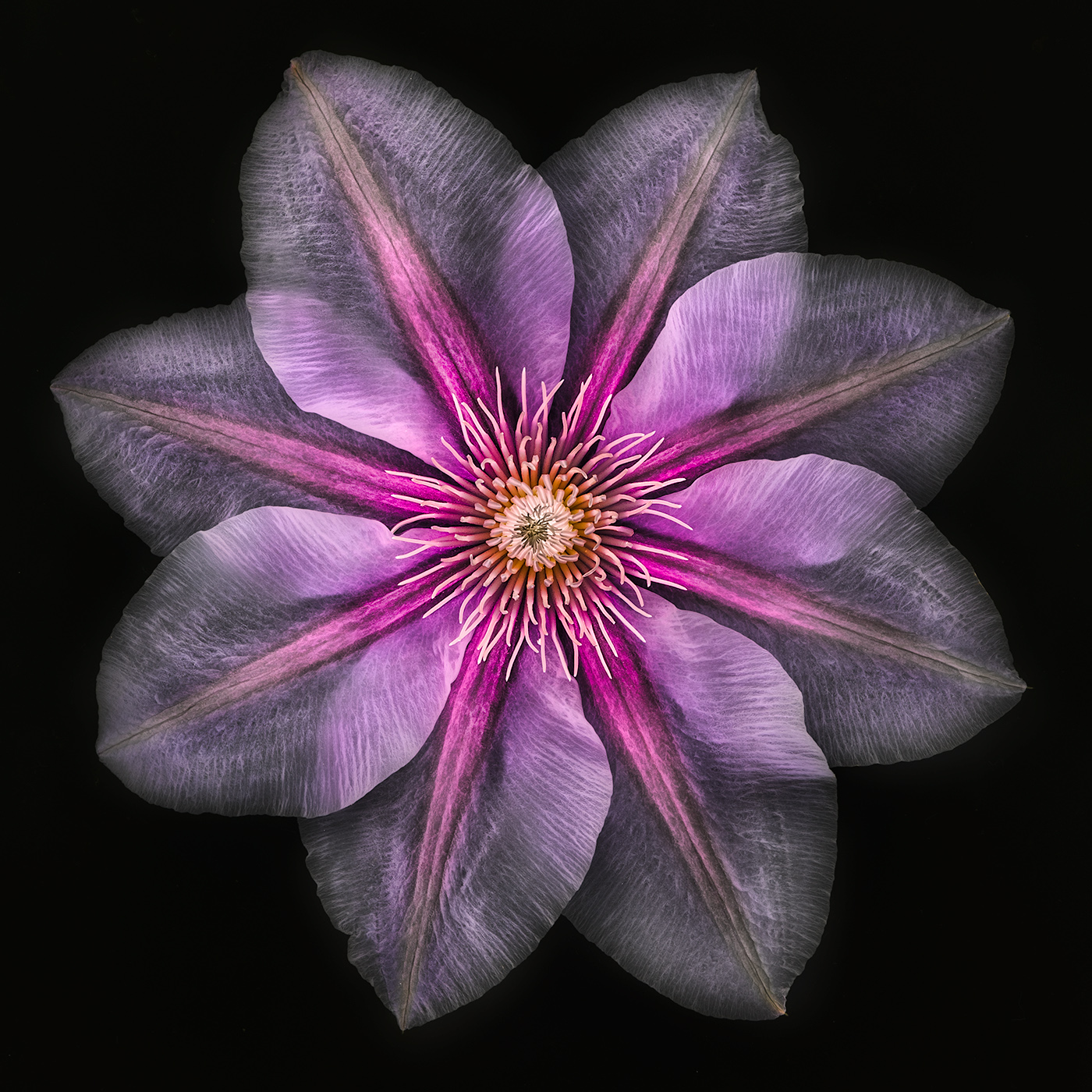 Clematis on Black