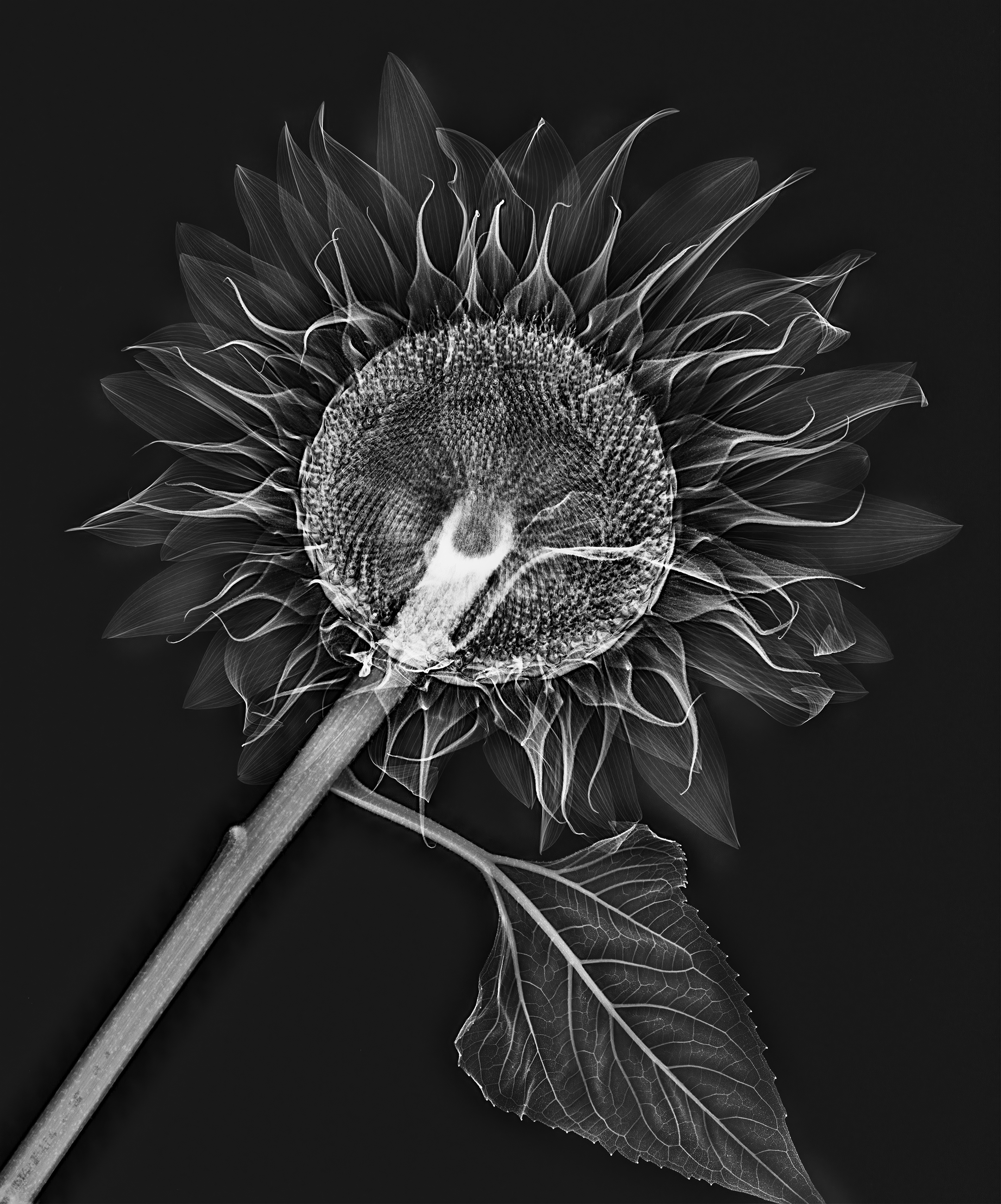 X-Ray, Sunflower © Harold Davis
