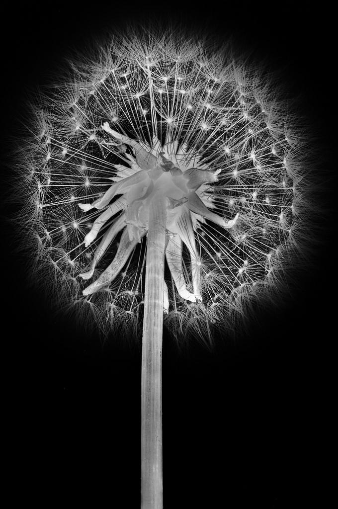 dandelion-superior-lg