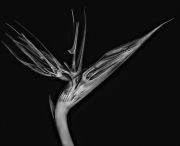 Bird of Paradise X-Ray