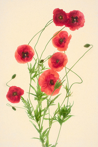 Red Poppies © Harold Davis