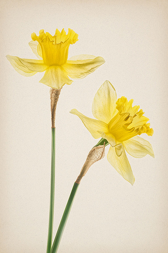 Duet of Daffodils 2 by Harold Davis