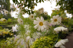 White Chrysanthemums Japonicum at Giverny © Harold Davis