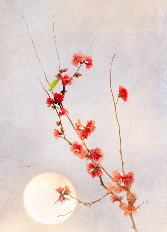 Flowering Quince by Moon © Harold Davis